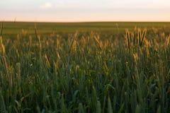 El campo con trigo verde Fotos de archivo libres de regalías