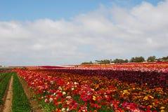 El campo de flor Fotografía de archivo