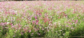 El campo de flor del cosmos del campo de flor del cocodrilo los campos se planta para recibir a turistas en la primavera Fotos de archivo