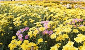 El campo de flor del cosmos del campo de flor del cocodrilo los campos se planta para recibir a turistas en la primavera Imágenes de archivo libres de regalías