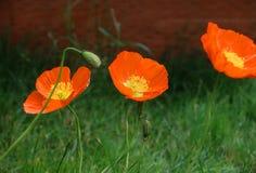 El campo de flor Poppy Moon florece amarillo rojo Foto de archivo libre de regalías