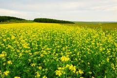 El campo de flores de la violación en la estepa Foto de archivo