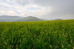 El campo de flores de la violación en la lluvia Fotografía de archivo libre de regalías