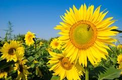 El campo de girasoles amarillos en uno de los cuales sienta una abeja y un s azul Imagen de archivo