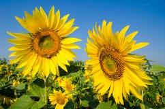 El campo de girasoles amarillos en uno de los cuales sienta una abeja y un s azul Foto de archivo libre de regalías