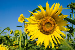 El campo de girasoles amarillos en uno de los cuales sienta una abeja y un s azul Fotos de archivo