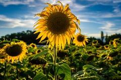 El campo de girasoles hizo excursionismo por el sol del verano del ajuste imagenes de archivo