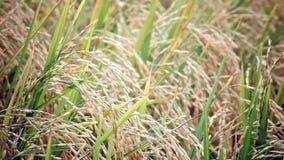 El campo de granja del arroz en el fondo del viento, opinión de la cámara de la anchura tiró en HD almacen de video