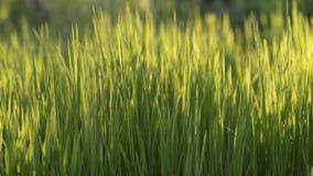 El campo de hierba verde atractivo se está moviendo con el viento en rayos del sol de la puesta del sol