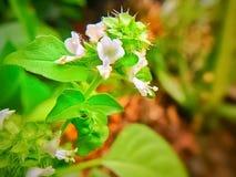 El campo de la albahaca con la hierba de las flores para el aromatherapy imagenes de archivo