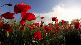 El campo de la amapola roja florece en el viento almacen de metraje de vídeo