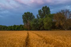 El campo de la cebada después de una tempestad de truenos del verano fotos de archivo