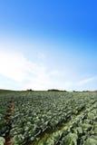 El campo de la col verde Fotos de archivo
