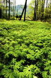 El campo de la floración puede las manzanas Foto de archivo