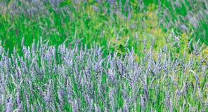 El campo de la lavanda con su azul florece durante la primavera Imagen de archivo libre de regalías