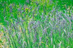 El campo de la lavanda con su azul florece durante la primavera Imagenes de archivo