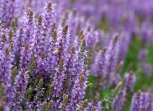 El campo de la lavanda púrpura brillante florece por completo fotografía de archivo libre de regalías