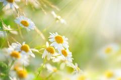 El campo de la manzanilla florece la frontera Foto de archivo