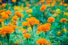 El campo de la maravilla mexicana amarilla floreciente florece el erecta de Tagetes con el fondo verde de las hojas por la mañana fotos de archivo