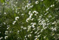 El campo de la margarita florece haciendo frente al sol Imagen de archivo