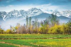 El campo de la mostaza con el fondo de Himalaya foto de archivo