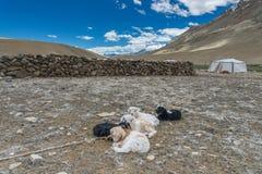 El campo de la sequía con las cabras negras marrones blancas del bebé está durmiendo en la tierra Fotos de archivo