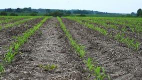 El campo de las cosechas jovenes del maíz metrajes
