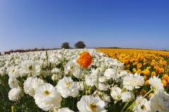 El campo de los ranúnculos de las flores anaranjadas y blancas fotos de archivo