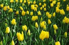 El campo de los tulipanes del amarillo del brote Imágenes de archivo libres de regalías