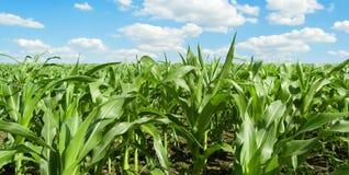 El campo de maíz. Fotos de archivo libres de regalías