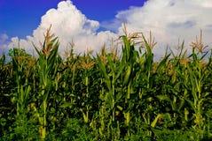 El campo de maíz Fotografía de archivo