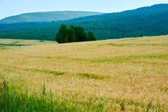 El campo de maíz amarillo en el prado Imagen de archivo libre de regalías