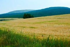 El campo de maíz de oro en el prado Foto de archivo libre de regalías