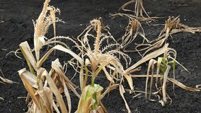 El campo de maíz fue dañado por sequía almacen de metraje de vídeo