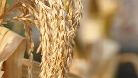 El campo de maíz fue dañado por sequía almacen de video