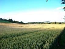 El campo de maíz largo Northumberland del norte, Inglaterra Reino Unido Imagen de archivo libre de regalías