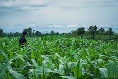 El campo de maíz verde joven en jardín y luz agrícolas brilla Imagen de archivo