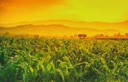 El campo de maíz verde joven en jardín y luz agrícolas brilla puesta del sol Imagen de archivo libre de regalías