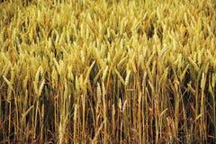El campo de maíz yelden los condados Inglaterra del hogar del bedfordshire de la aldea Imágenes de archivo libres de regalías