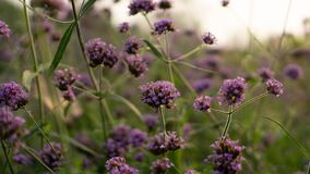 El campo de pétalos menudos púrpuras del flor de la flor de Vervian en las hojas verdes debajo del cielo, sabe como Purpletop ver foto de archivo