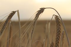 El campo de trigo enfoca adentro foco Fotos de archivo libres de regalías