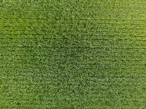 El campo de trigo es verde Trigo joven en el campo Visión desde arriba Fondo de textura del trigo verde Hierba verde Foto de archivo