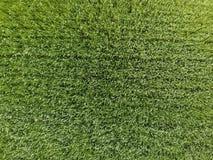 El campo de trigo es verde Trigo joven en el campo Visión desde arriba Fondo de textura del trigo verde Hierba verde Fotografía de archivo libre de regalías
