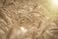 El campo de trigo, campo de trigo hermoso se encendió por luz del sol en última hora de la tarde Foto de archivo