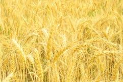 El campo de trigo de oro y el d?a soleado caliente del verano imagenes de archivo