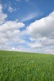 El campo de trigo verde y la primavera del cielo azul ajardinan Fotos de archivo libres de regalías