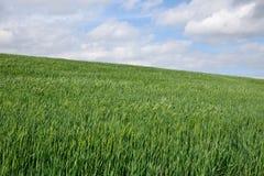El campo de trigo verde y la primavera del cielo azul ajardinan Foto de archivo