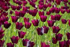 El campo de tulipanes grandes, púrpuras Fotografía de archivo libre de regalías