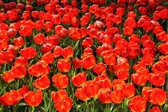 El campo de tulipanes grandes, rojos Foto de archivo libre de regalías