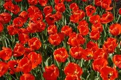 El campo de tulipanes grandes, rojos Fotografía de archivo libre de regalías